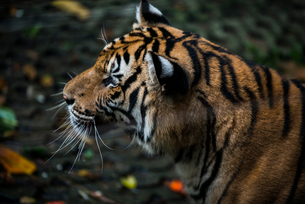 Close-up of tiger in zooの写真素材 [FYI03728997]