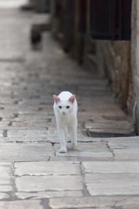 石畳を歩くクロアチアの白ネコの写真素材 [FYI03731165]