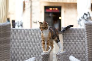ドブロブニク旧市街、カフェに来た三毛猫の写真素材 [FYI03731268]