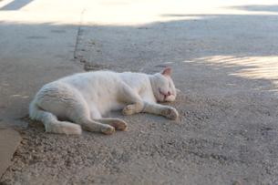 ドブロブニクの旧市街で寝転ぶ白ネコの写真素材 [FYI03731419]