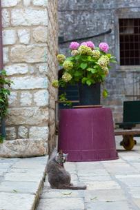 ドブロブニク、毛づくろいするグレーの猫の写真素材 [FYI03731700]