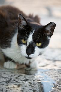 石畳の水をなめる黒白猫の写真素材 [FYI03731880]