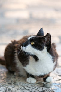 ドブロブニク旧市街で暮らす黒白猫の写真素材 [FYI03731914]