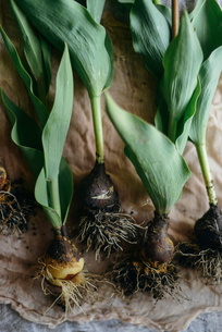 Close-up of tulip bulbs on tableの写真素材 [FYI03733268]