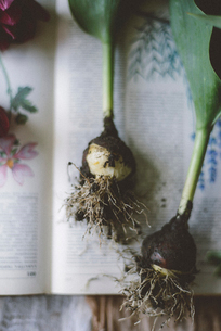 Overhead view of tulip bulbs on bookの写真素材 [FYI03733269]