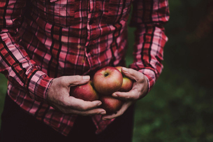 Midsection of man holding apples while standing on fieldの写真素材 [FYI03733665]