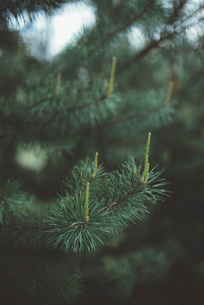 Close-up of pine tree growing in forestの写真素材 [FYI03734169]