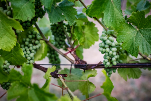 Grapes growing on plants at vineyardの写真素材 [FYI03736405]
