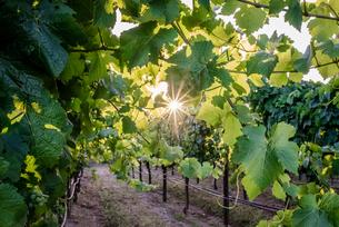Plants growing in vineyardの写真素材 [FYI03736406]