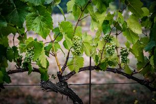 Grapes growing on plants in vineyardの写真素材 [FYI03736408]