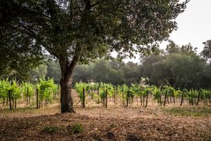 Trees and plants growing in vineyardの写真素材 [FYI03736412]