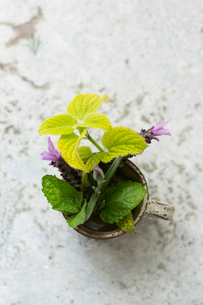 Overhead view of fresh herbs in rusty metallic container on tableの写真素材 [FYI03739587]