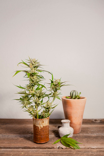 Close-up of fresh cannabis plant on wooden table against wallの写真素材 [FYI03739673]