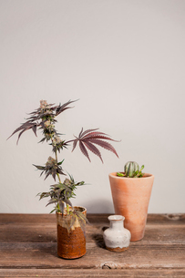 Close-up of cannabis plant on wooden table against wallの写真素材 [FYI03739674]