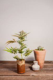 Close-up of cannabis plant on wooden tableの写真素材 [FYI03739675]