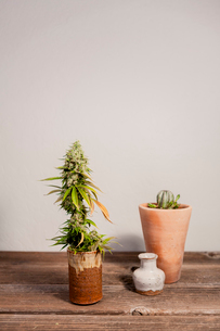 Potted cannabis plant on wooden table against wallの写真素材 [FYI03739676]