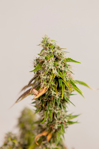 Close-up of flowers on marijuana against wallの写真素材 [FYI03739682]