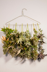 Close-up of marijuana hanging on coathanger against wallの写真素材 [FYI03739686]