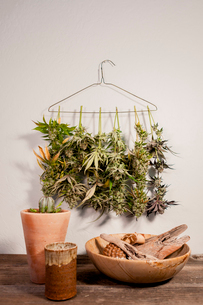 Cannabis plants hanging on coathanger against wallの写真素材 [FYI03739688]