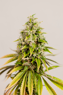 Close-up of fresh flowers on marijuana against wallの写真素材 [FYI03739689]