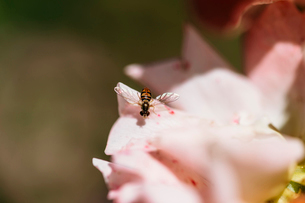 High angle close-up of insect pollinating on flowerの写真素材 [FYI03740168]