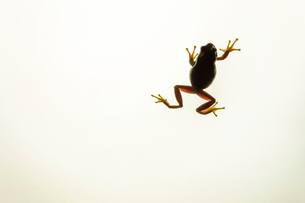 Close-up of frog climbing on device screenの写真素材 [FYI03742557]