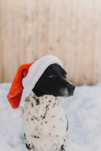Close-up of dog wearing Santa hat while sitting on snow covered fieldの写真素材 [FYI03743048]