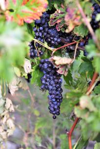 Close-up of grapes growing at vineyardの写真素材 [FYI03747370]
