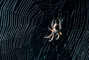 Close-up of spider weaving web in forest at Everglades National Park during nightの写真素材 [FYI03747922]