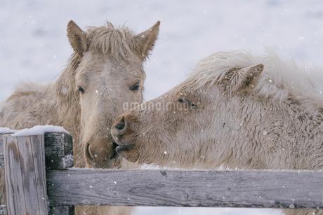 冬の馬の写真素材 [FYI03748907]