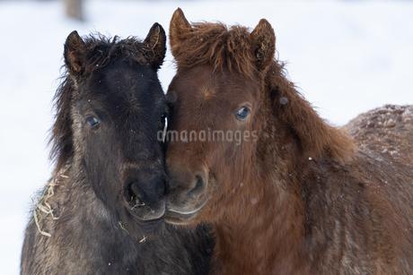 冬の馬の写真素材 [FYI03748912]