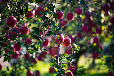 Ripe apples in orchardの写真素材 [FYI03748944]