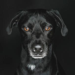 Close-up portrait of Labrador Retriever against black backgroundの写真素材 [FYI03749292]