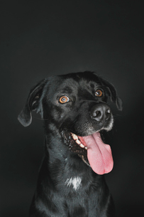 Close-up of Labrador Retriever sticking out tongue against black backgroundの写真素材 [FYI03749304]