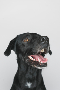 Close-up of black Labrador with mouth open against white backgroundの写真素材 [FYI03749305]