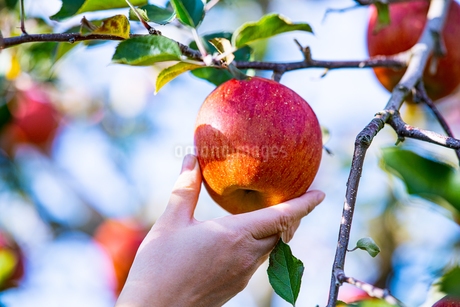 Ripe apples in orchardの写真素材 [FYI03750605]