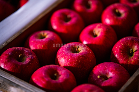 Ripe apples in orchardの写真素材 [FYI03750790]