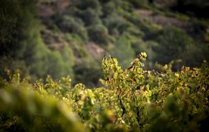 View of plants growing in vineyard during autumnの写真素材 [FYI03751282]
