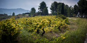 Scenic view of vineyard against cloudy sky during autumnの写真素材 [FYI03751283]