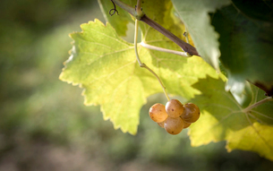 Close-up of grapes growing on plant during autumn in vineyardの写真素材 [FYI03751284]