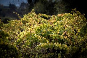 Plants growing in vineyard during autumnの写真素材 [FYI03751285]