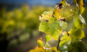 Close-up of plants in vineyard during autumnの写真素材 [FYI03751286]