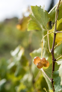 Close-up of grapes growing on vine during autumnの写真素材 [FYI03751287]