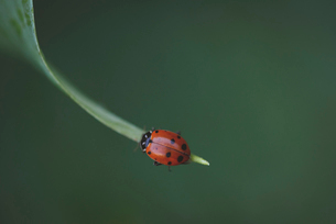 Macro shot of ladybug on leafの写真素材 [FYI03751637]