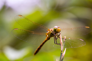 Macro shot of dragonfly on twigの写真素材 [FYI03751654]