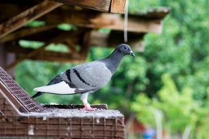 Side view of homing pigeon perching on birdhouseの写真素材 [FYI03751663]