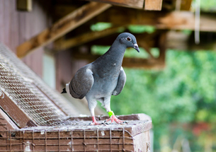 Close-up of homing pigeon perching on birdhouseの写真素材 [FYI03751664]