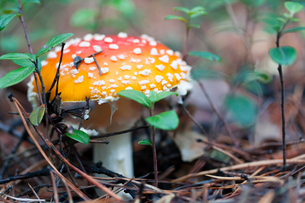 Close-up of fly agaric mushroom growing on field in forestの写真素材 [FYI03752192]
