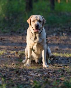 Labrador Retriever sitting on field in forestの写真素材 [FYI03752199]