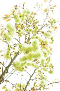 珍しい緑色の桜 ソノサトキザクラの写真素材 [FYI03753120]
